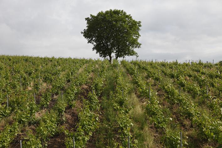 vineyard-bollinger